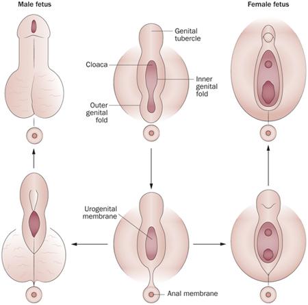 miért lett puhább a pénisz)