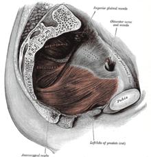 a perineum erekciójának izmai melyik pénisz normális