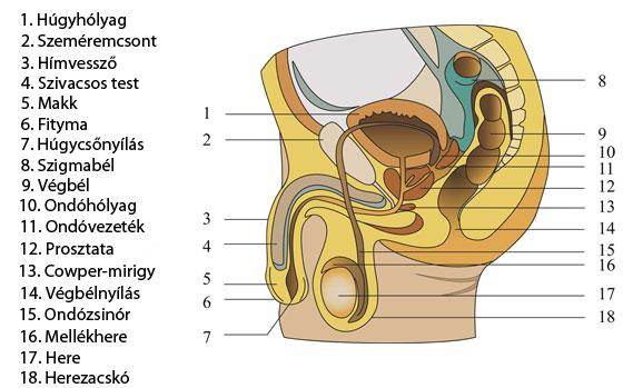 a pénisz belső szerkezete