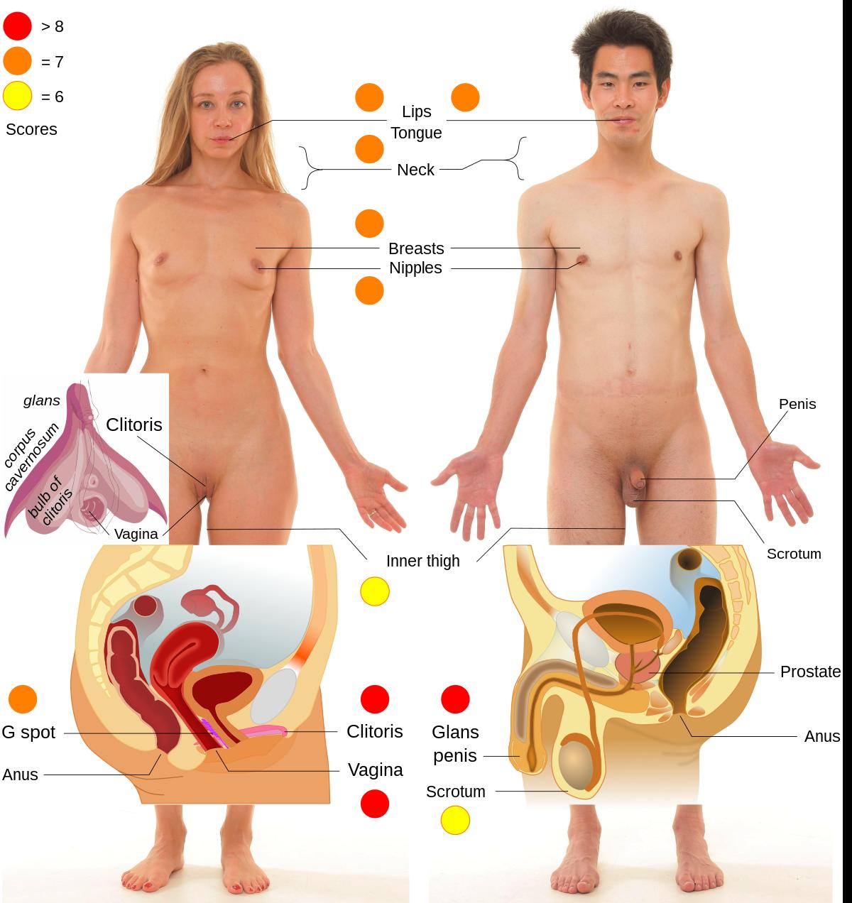 a pénisznek erogén zónái vannak