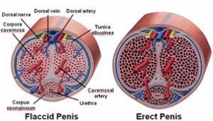 hogyan kell kiváltani az erekciót)