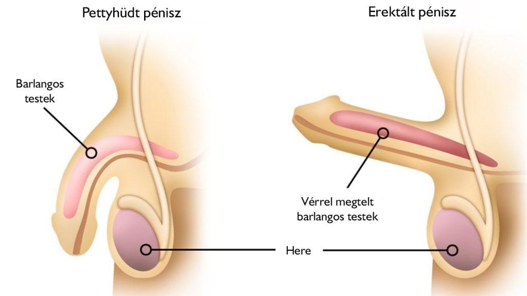 merevedés az erekció során