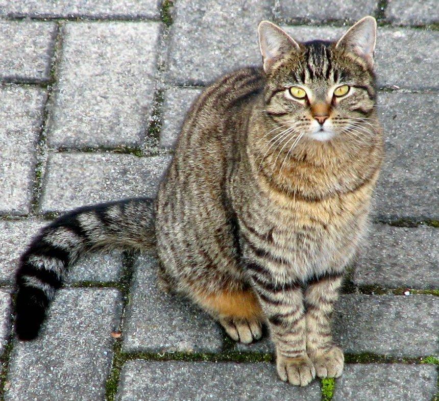 merevedés macskáknál kasztrálás után)