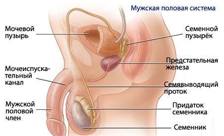 a reproduktív rendszer erekciója)
