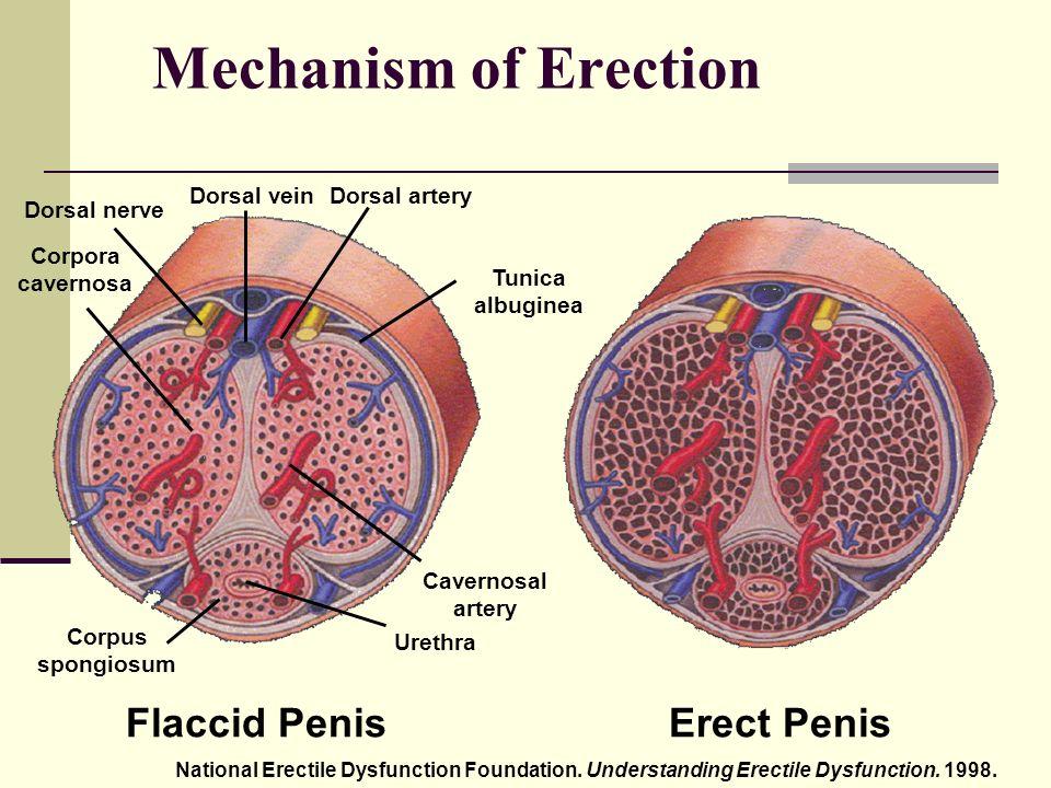Hogy jön létre a merevedés, az erekció? - Egészségszerviz