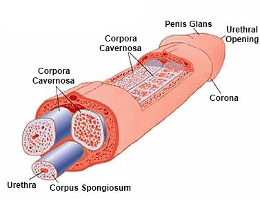 a pénisz egy erekció során nő)