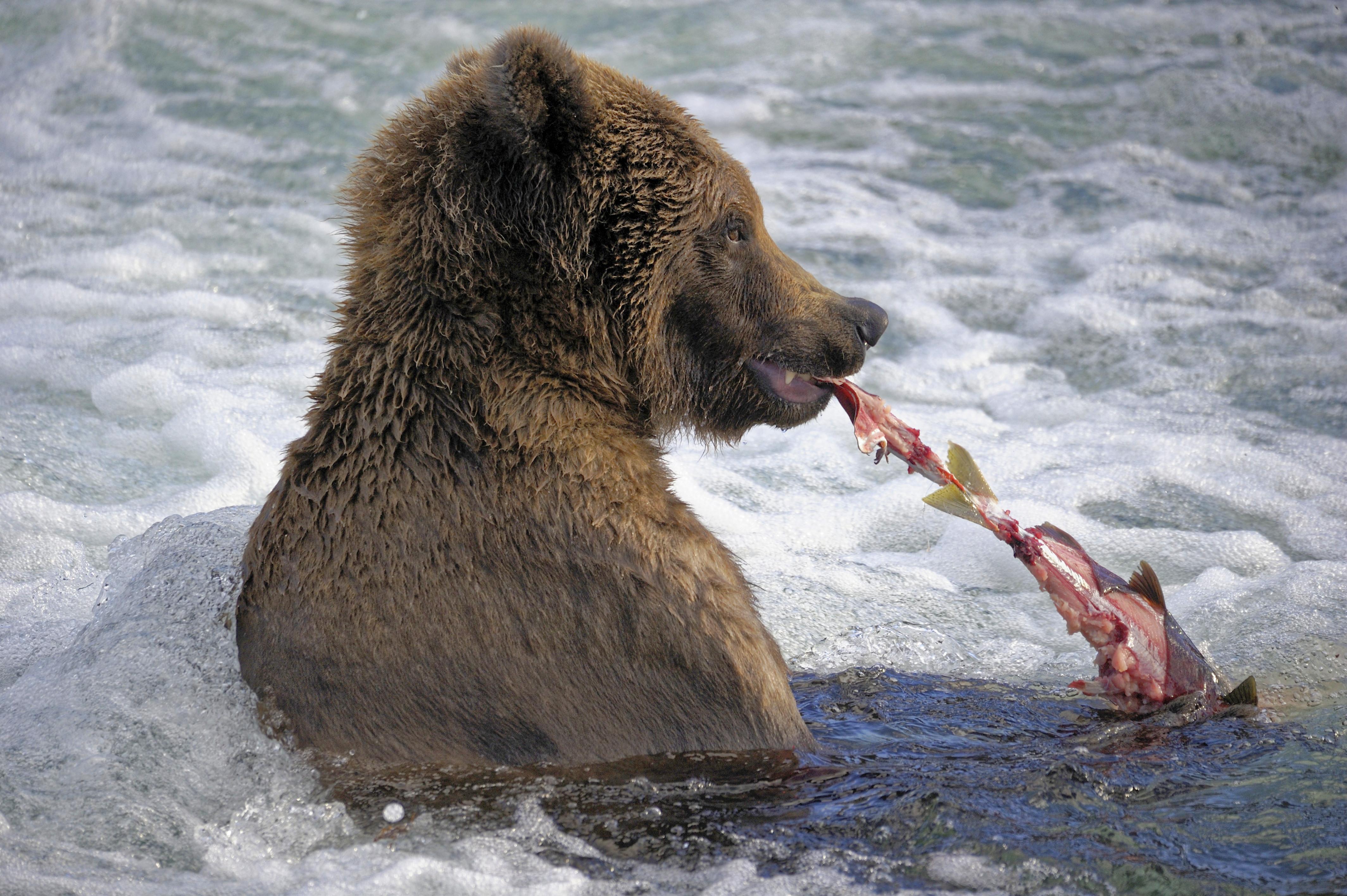 pénisz medve