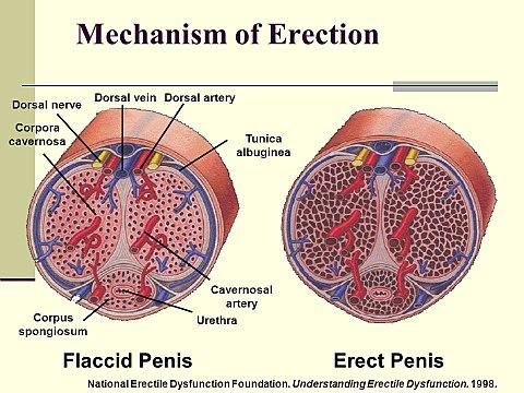 vér spermával az erekció során