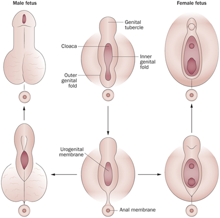 miért lett puhább a pénisz
