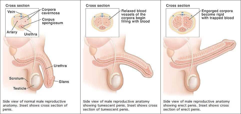 vénák a péniszen az erekció során
