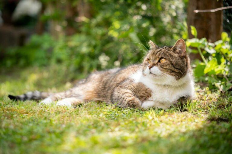 merevedés kasztrált macska)