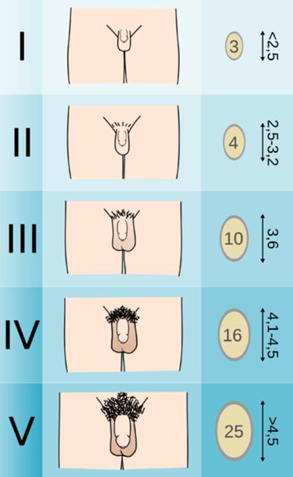 a pénisz egyenesen ívelt a pénisz méretének és életkorának megfelelő