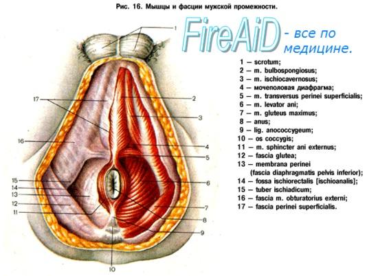 a perineum erekciójának izmai hogyan lehet kellemes masszázst készíteni a péniszen