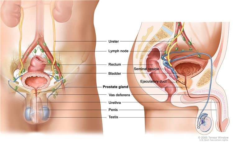 orchiectomia és erekció)
