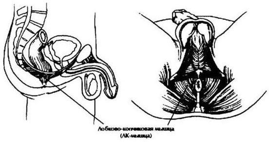 coccyx erekció