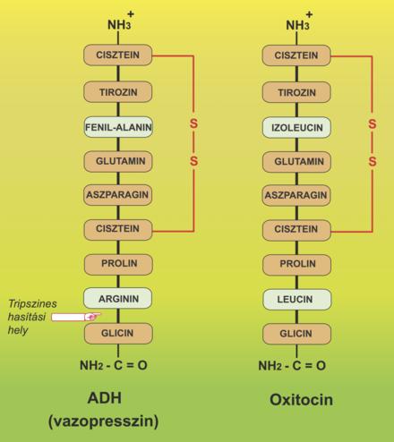 oxitocin és erekció